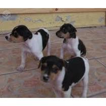 Vendo Filhotes De Fox Terrie Brasileiro Vacinado Vermifugado