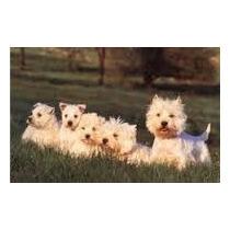 Filhotes De West Highland White Terrier