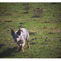 Australian Cattle Dog Macho Com Pedigree Cbkc