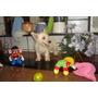 Fêmea De West Terrier Com Pedigree Cbkc. Última Disponível