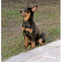 Filhote Fêmea Australian Cattle Dog Com Registro