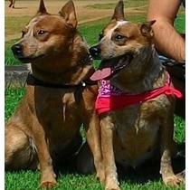 Australian Cattle Dog Filhotes