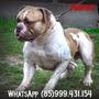 Filhotes Mix De Bulldog Americano/dog De Bordeaux/pit-bull