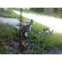 Beagle Mini Lindos Filhotes Pedigree
