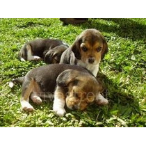 Vendo Filhotes De Beagle Tricolor Vacinado Pedigree