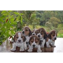 Beagle Os Mais Lindos E Saudáveis Filhotes