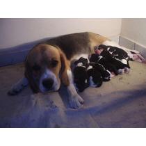 Vendo Filhotes De Beagle Tricolor Vacina Vermifugo Contrato
