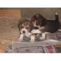 Beagle, Filhotes, Cães Com Pedigree