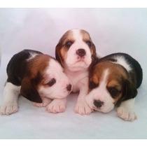 Filhotes De Beagle Fêmeas (canil Especializado)