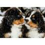Filhotes De Bernese - Canil Amor Eterno