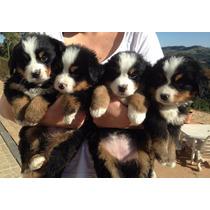 Lindos Filhotes De Bernese Mountain - Canil Anjos Do Orypaba
