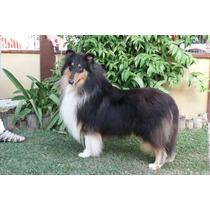 Filhotes De Collie - Genética De Campeões Mundiais - Lassie