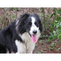 Border Collie Com Pedigree, Linda Ninhada