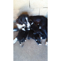 Border Collie Filhotes 4 Femeas 2 Machos - 16/02