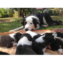 Filhotes De Border Collie Com Pedigree - Machos