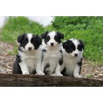 Lindos Filhotes De Border Collie, Só Com A Equipe Pet Store