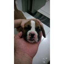 Bóxer, Filhotes De Cães Já Vacinados, Machos E Fêmeas