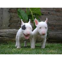 Lindos Filhotes De Bull Terrier, Só Com A Equipe Pet Store