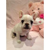 Filhote Bulldog Francês Macho