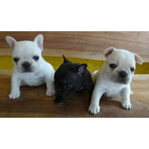 Filhotes De Bulldog Francês (ótima Linhagem)