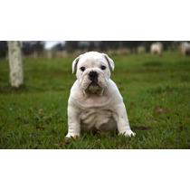 Filhote De Bulldog Inglês Macho Com Pedigree Cbkc.