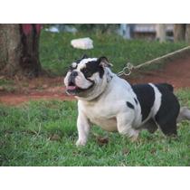 Bulldog Ingles Tricolor Monta Cruza Inseminação