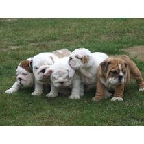 Filhotes De Bulldog Inglês Disponíveis!!!