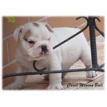 Bulldog Ingles Macho Branco Lindo Com Pedigree Cbkc