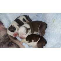 Perfeitos Filhotes Bulldog Inglês Pedigree Cbkc!!