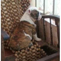 Bulldog Inglês Fêmea
