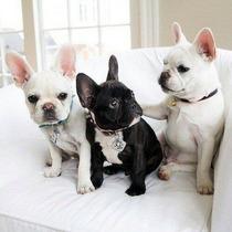 Lindos Filhotes De Bulldogue Francês, Só Com A Pet Store