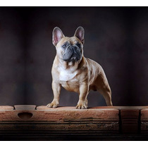 Bulldog Francês Filhotes Disponíveis Machos E Fêmeas