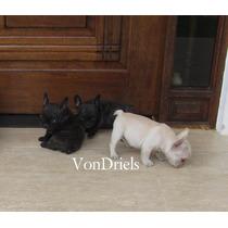 Filhotes De Bulldog Francês Maravilhosos