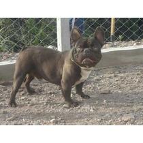 Bulldog Frances Exotico Choco Gen