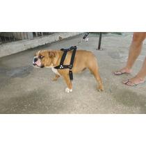 Bulldog Ingles Plantel