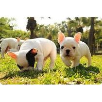Bulldog Francês Os Mais Lindos Filhotes