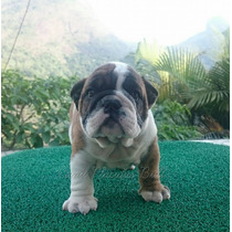 Excelentes Filhotes De Bulldog Ingles, Pedigree Top