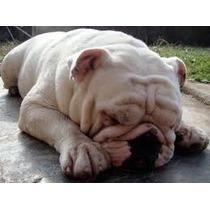 Lindo Casal De Bulldog Ingles Promocao (aceitamos Trocas)