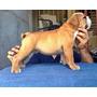 Bulldog Ingles Filhote Com Excelente Linhagem Cherokee