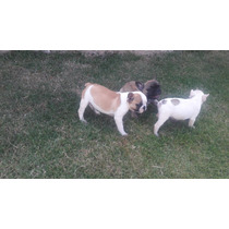 Reserva De Filhotes De Bulldog Francês Com Pedigree