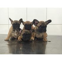 Fêmeas De Bulldog Francês