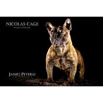 Padreador Bulldog Francês - Cbkc - Linhagem De Campeões