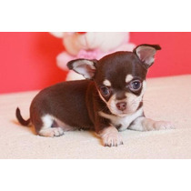 Chihuahua Filhote Pelo Curto