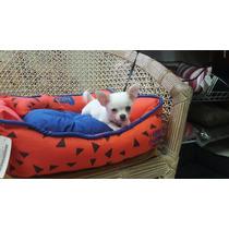 Chihuahua Branquinho Pelo Curto