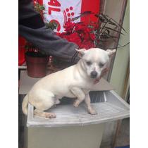 Chihuahua Promoc C/pedig Macho P/você Que É Exigente