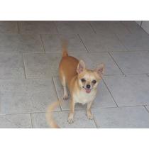 Machinhos De Chihuahuas Com Pedigree Cbkc