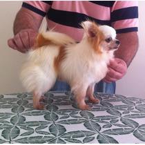 Chihuahua, Venda De Filhotes, Linhagem Importada De Campeão.