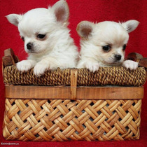 Chihuahua Filhote Pelo Longo