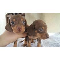 Filhotes De Basset Mini Chocolates De Olhos Azuis