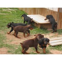 Lindos Filhotes De Doberman, Só Com A Pet Store